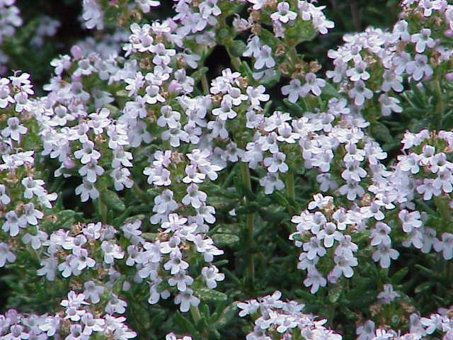plantas aormaticas tomillo