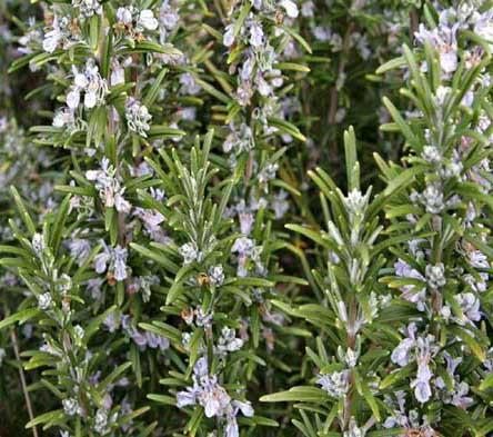 plantas aromaticas romero